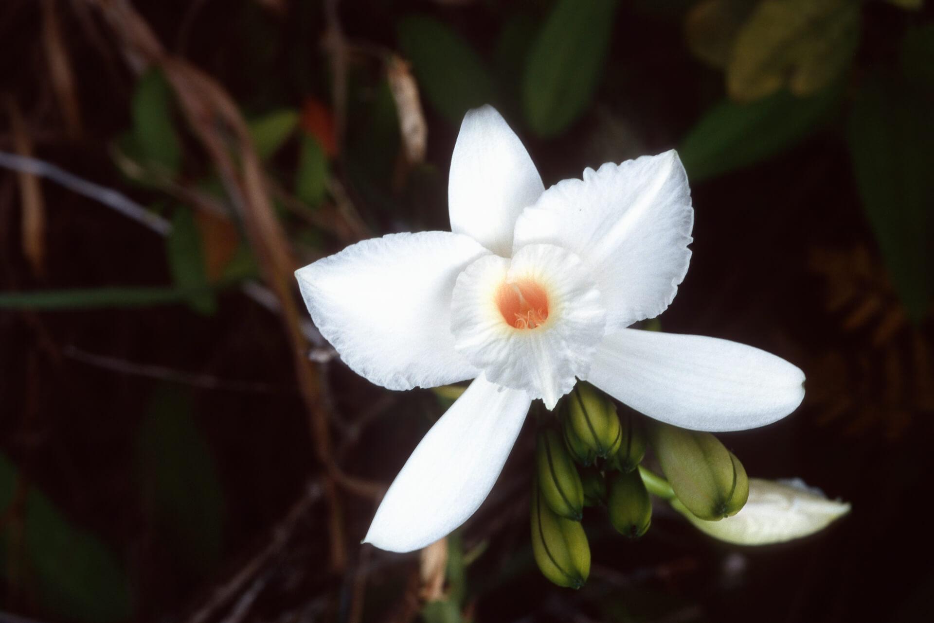 Planta de Vainilla